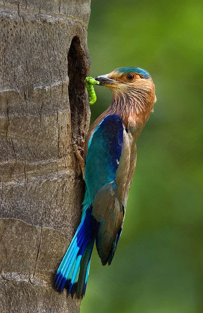 Indian Roller bird,  by najeebkhan2009 on Flickr