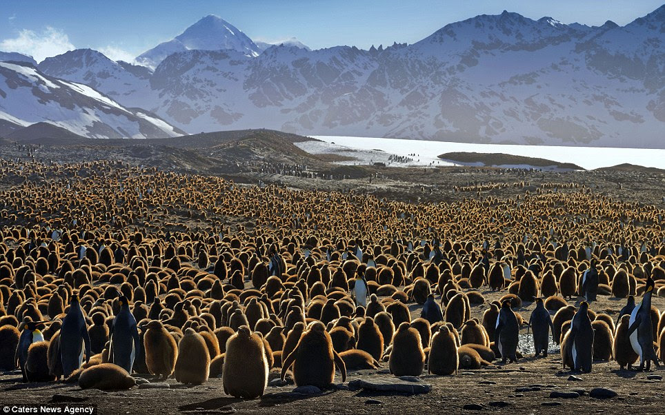 Take your pick: The huge group of emperor penguins pictured huddling together in South Georgia