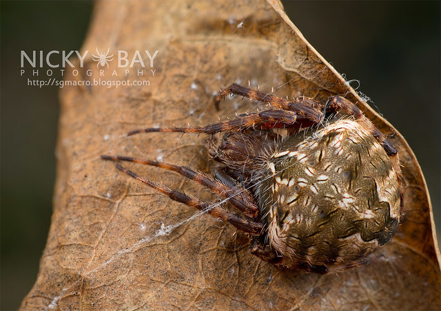 Orb Web Spider (Araneidae) - DSC_6749