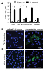 Thumbnail of Middle East respiratory syndrome coronavirus (MERS-CoV) from camel replicates in human hepatoma (Huh-7) cells and uses human DPP4 as entry receptor. Huh-7 cells were inoculated with camel MERS-CoV and left for 1 h. Next, cells were washed twice, and supernatant was collected at 2 h (open bars) and 20 h (closed bars) before being tested for MERS-CoV RNA by using a TaqMan assay. We analyzed control camel MERS-CoV–infected cells, cells inoculated with camel MERS-CoV in the presence of