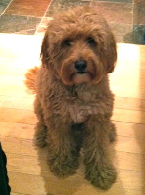 fewlittlesins:  My New Years kiss went to this guy.  Ahhh a cockapoo?!