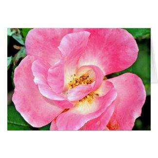 Singular Beauty Lush Pink Rose Greeting Cards