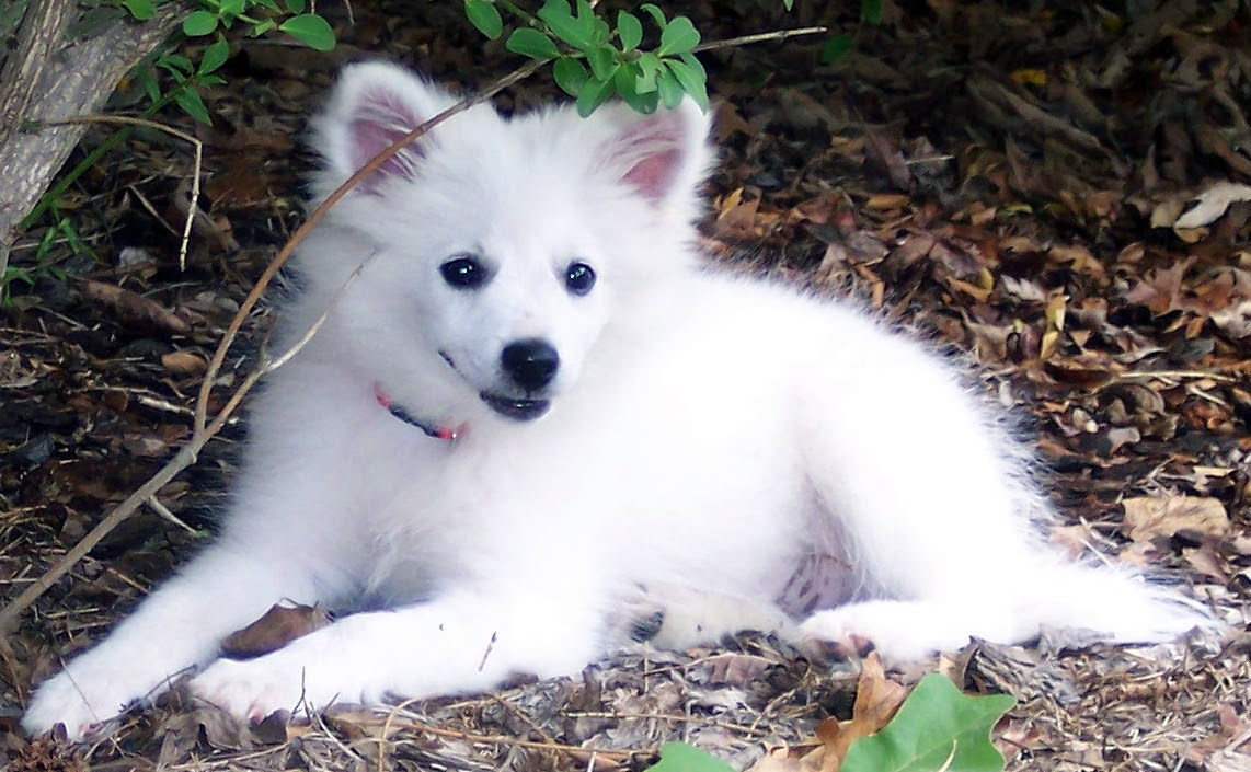File:American Eskimo Dog Puppy.jpg  Wikimedia Commons