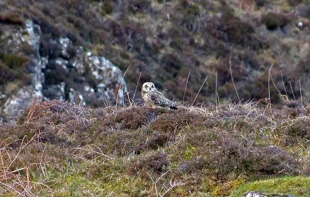 26972 - Short Eared Owl, Mull