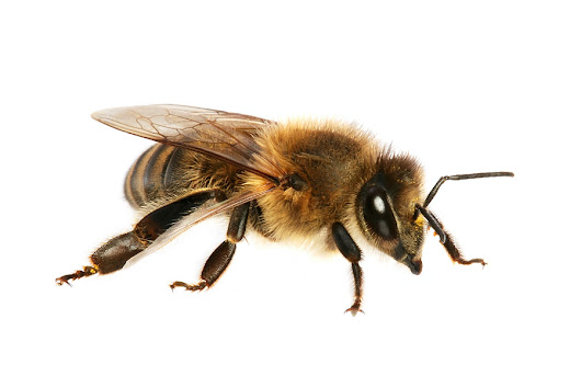 Know Your Bees-How Carpenter Bees Can Harm Your Home