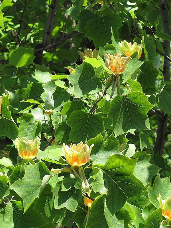 Tuliptree Liriodendron Tulipifera In Columbus Dublin Delaware