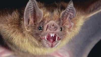 Di Amerika Vampire bikin rabies