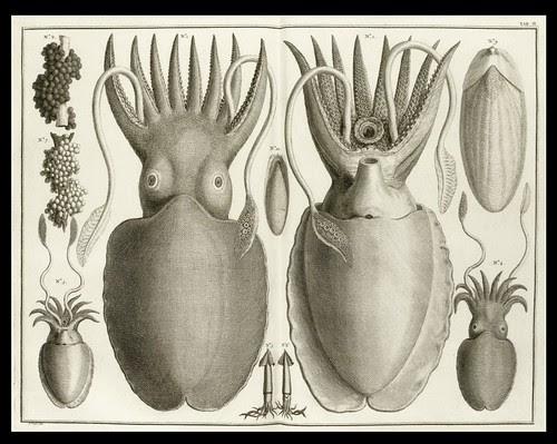 Albertus Seba - Squid