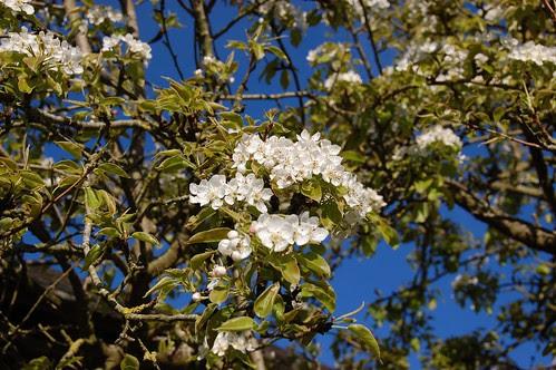 apple pear blossom