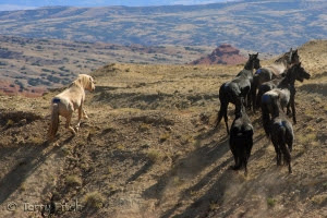 Cloud and family after release from BLM capture in 2009 ~ photo by Terry Fitch of Wild Horse Freedom Federation