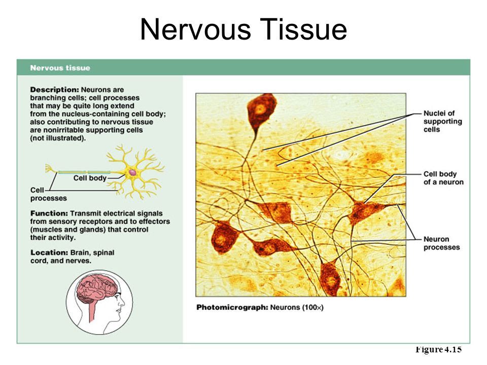 Nervous+Tissue+Figure+4