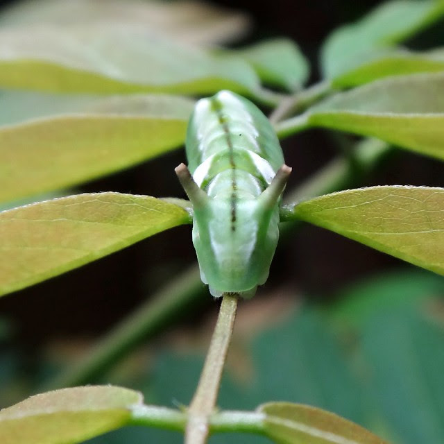 Wisteria - caterpillar