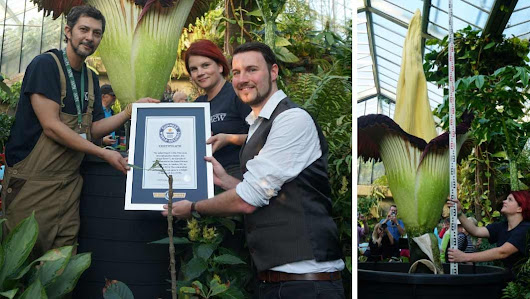 What's that blooming stench? World's tallest – and smelliest – flower wows visitors at Kew Gardens | Guinness World Records