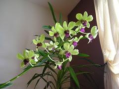 Dendrobium Anna Green 12 fleurs
