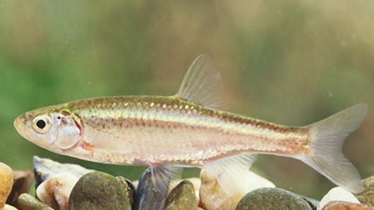 This sneaky male fish steals eggs to clone itself