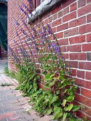 Urban weed: Campanula rapunculoides by Vilseskogen