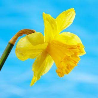 Make A Daffodil