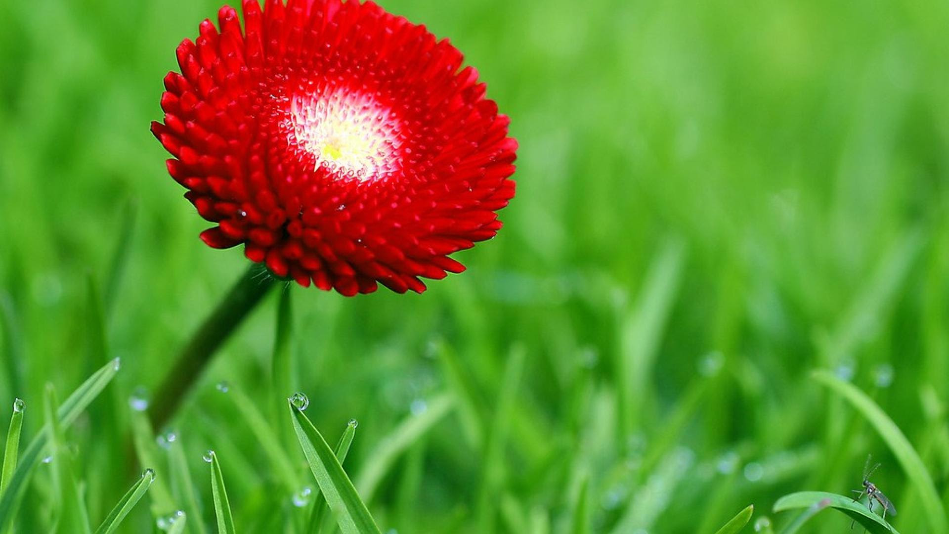 1920x1080nature Flowers Red Hd Wallpaper Gm Applied
