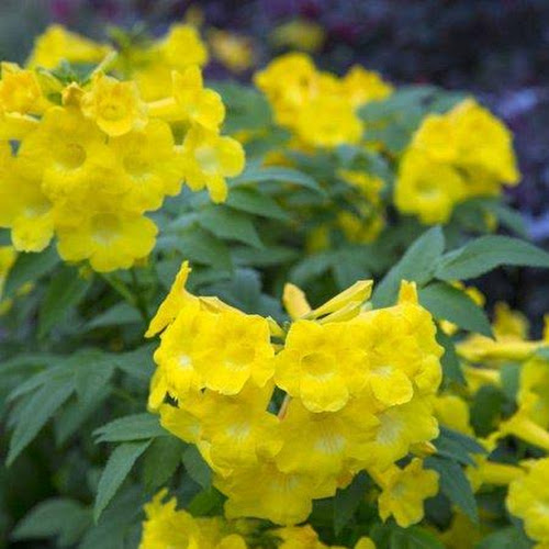Google express lydia tecoma yellow bell shaped flowers live plants lydia tecoma yellow bell shaped flowers live plants mightylinksfo