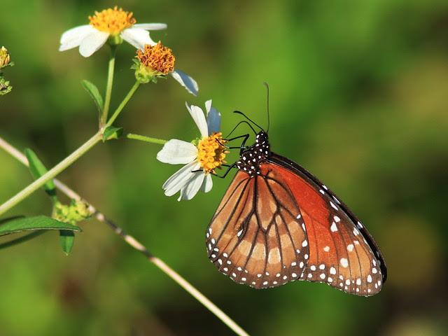 Queen butterfly male 20131203