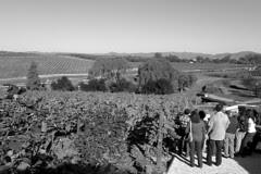 Domaine Carneros - Vineyard