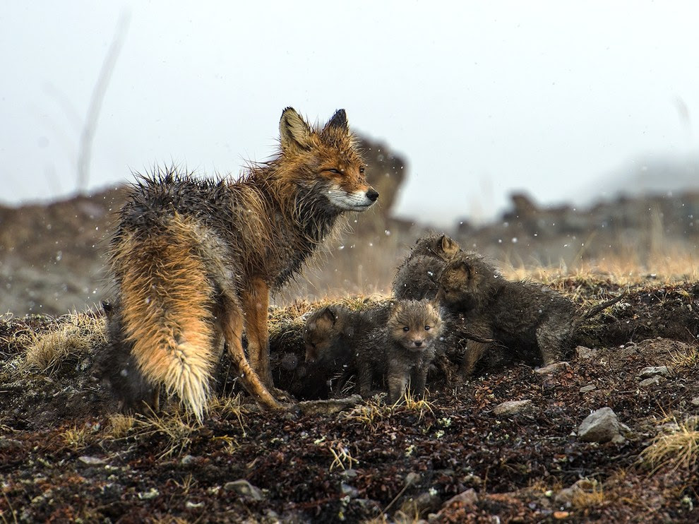 Fox family, Chukotka