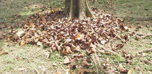 Great mulch from leaf litter
