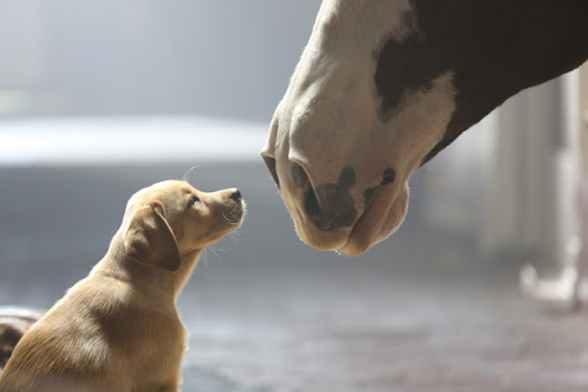 Watch Bud's 'Puppy Love' Clydesdale Super Bowl Ad