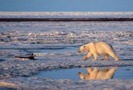 "FILE - This undated file photo provided by Subhankar Banerjee shows a polar bear in the Arctic National Wildlife Refuge in Alaska. Federal wildlife biologist Charles Monnett, whose observation that polar bears likely drowned in the Arctic helped galvanize the global warming movement, was placed on administrative leave as officials investigate him for scientific misconduct. Investigators' questions have focused on a 2004 journal article that Monnett wrote about the bears, said thePublic Employees for Environmental Responsibility group that is representing him. Monnett was told July 18 that he was being put on leave, pending an investigation into ""integrity issues."" (AP Photo/Subhankar Banerjee, File)"