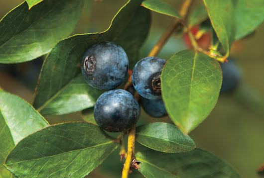 Farm Facts: Blueberries - North Carolina Field and Family
