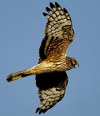 English: A female Hen Harrier alarming at nest...