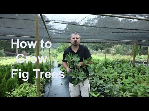 How to Grow Fig Trees