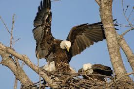 Bald Eagle Brings Nesting