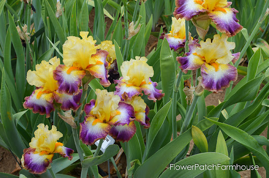 A Visit to Superstition Iris Gardens - Flower Patch Farmhouse