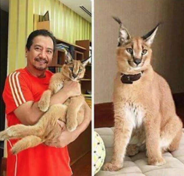 Tahu Tak Berapa Harga Kucing Eksotik Yang Sultan Mizan