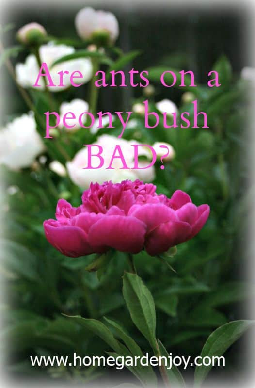 Are Ants on a Peony Bush