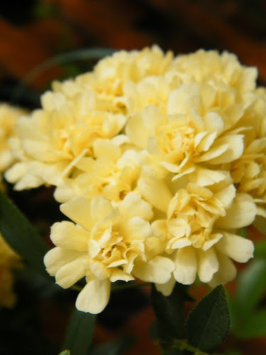 Lutea Banksiae
