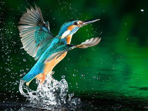 kingfisher bird fisherman hd wallpaper   mobile