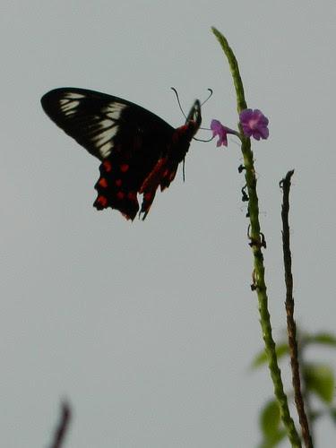 Crimson Rose, Pachliopta hector