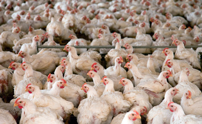 Foster Farms Cuts Back on Antibiotics Use | Food Safety News