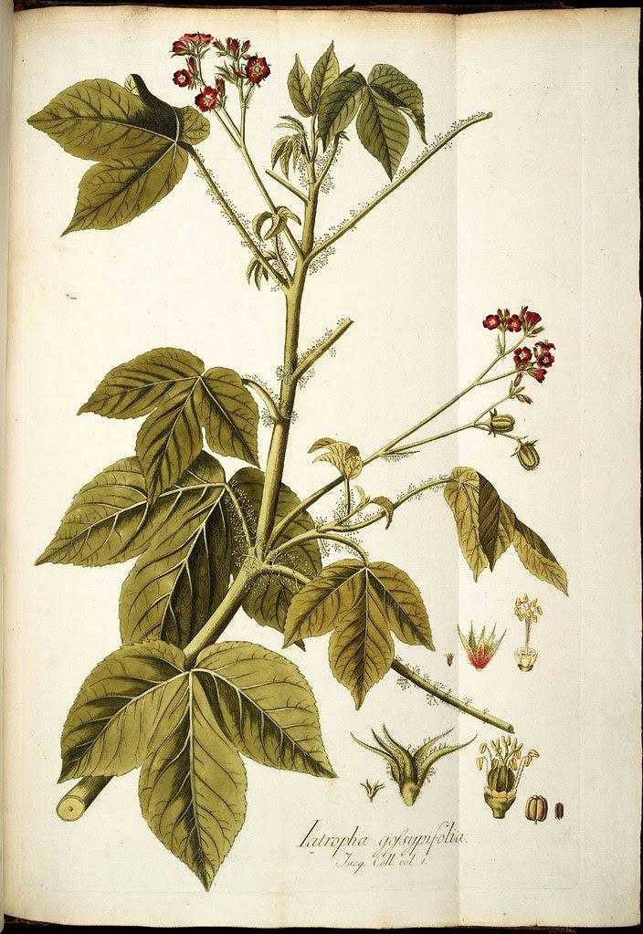 Iatropha gossypifolia
