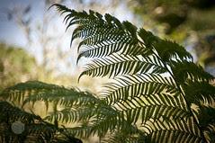 Baumfarn (anjadoering) Tags: plants fern berlin germany pflanzen baumfarn britzergarten deuschland