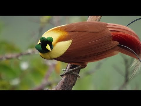 Magníficas aves del paraíso en la isla de Papua