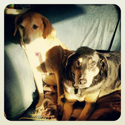 Hooey hounds in the morning sun spot #dogstagram #morning #hounds #adoptdontshop #rescue #sun