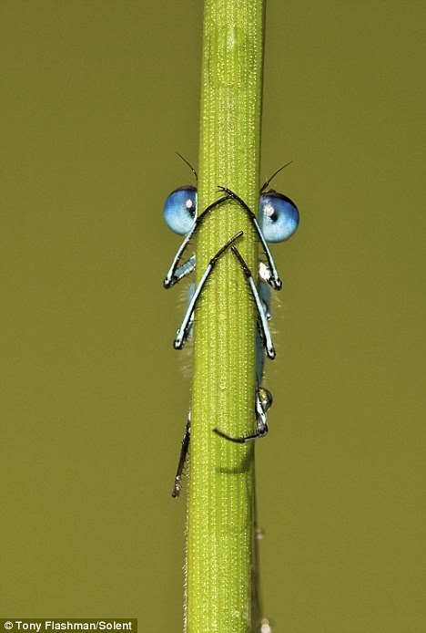 Hide 'n' peek! The damselfly who thought he was hidden... but was given away by his bug eyes  1