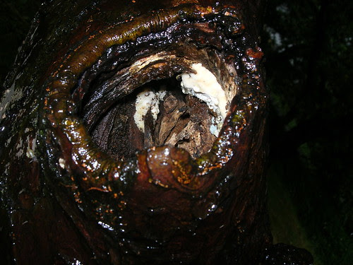 Pilz in Asthöhle an Grünem Boskop