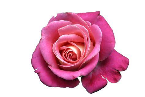 bunga mawar png wwwpicswenet