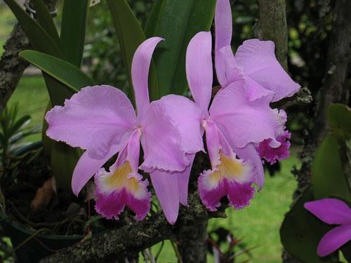 Cattleya Trianae Cattleya Source