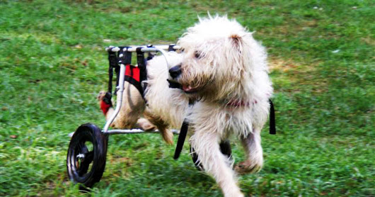 Dog on wheels - Paralyzed pets rock their wheels: 30 awesome animals - Pictures - CBS News