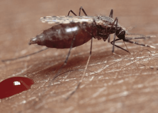 The West Nile Virus: Risks, Symptoms and Treatment - Mosquito Guy
